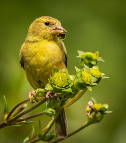 American Goldfinch 7 8 7.5 22.5 David Evans  Nature Gold