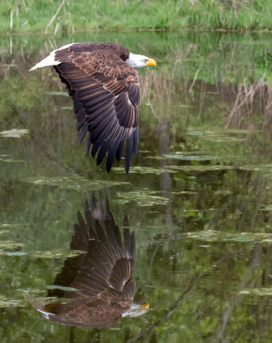 Bald Eagle In Flight 7.5 7 7.5 22 Terry Ross-Poulton  Nature Gold