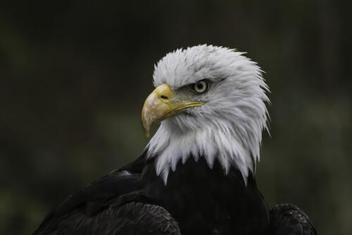 Bald Eagle 8.5 7.5 7.5 23.5 HM GPP Jim Maguire  Nature Gold
