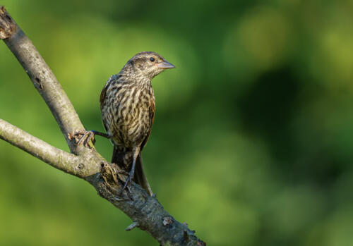 Female Red Wing Blackbird 7.5 7.5 8.5 23.5 HM GPP Andy Langs  Nature Gold
