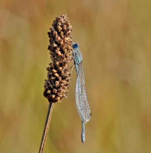 Familiar Bluet 6 8 7 21 Heather Engel  Nature Master