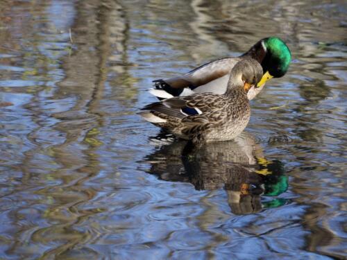 Mallard Ducks 6.5 7 7.5 21 Ewa Rakowski  Nature Silver