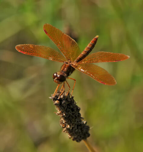 Amberwing Dragonfly Male 6 7.5 7 20.5 Heather Engel  Nature Master