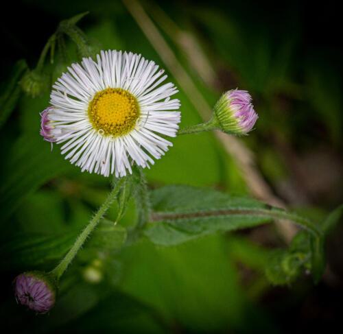 Daisy Fleabane 7 7 6.5 20.5 John Strung  Nature Gold