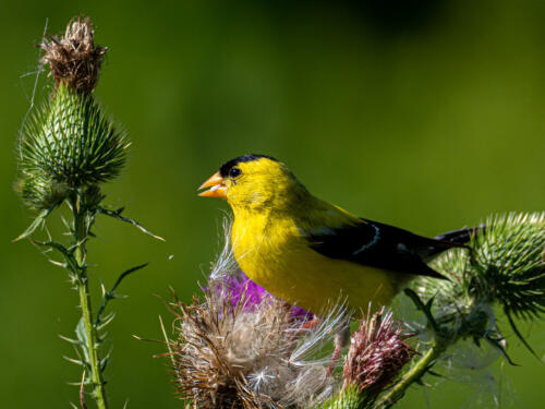 Goldfinch Eating Thistle Seed 7 7 7 21 John Strung  Nature Gold