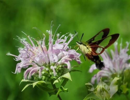 Hummingbird Moth 6 7.5 7.5 21 Colleen Bird  Nature Gold