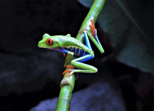 Red-Eyed Tree Frog 3 6.5 6.5 7.5 20.5 Barbara Boles-Davis  Nature Gold