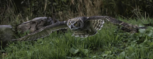 Great Horned Owl 7.5 9.5 7.5 24.5 TC GPP Jim Maguire  Nature Gold