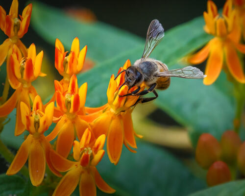 Honey Bee On Butterfly Weed 9 8.5 8 25.5 HM DP Kathryn Martin  Nature Master