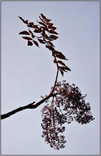 Devil'S Walking Stick Berries 6 6.5 6.5 19 James Hamilton  Pictorial Gold