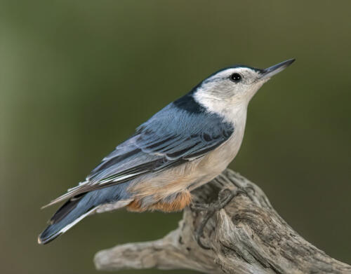 White Breasted Nuthatch 7 6.5 7.5 21 Gary Love  Nature Master