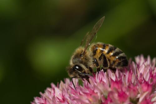 Western Honey Bee On Sedum 8 8.5 7.5 24 HM GPP Geoffrey Skirrow  Nature Gold