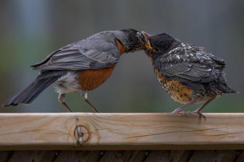 Baby Robin Feeding Time 6.5 7.5 7.5 21.5 Geoffrey Skirrow  Pictorial Gold
