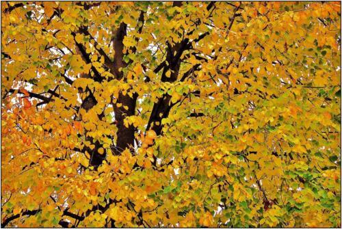 Linden Yellow 7.5 6 7.5 21 James Hamilton  Pictorial Gold