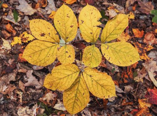 Leaf Patterns 7 7 7 21 Don Poulton  Pictorial Master