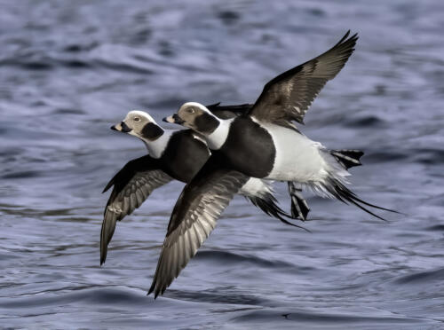 Long-Tailed Ducks 7 7.5 8.5 23 GPP Jim Maguire  Nature Gold