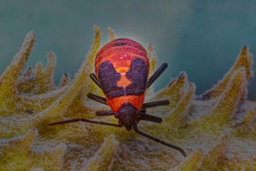 Large Milkweed Bug 6.5 7 6.5 20 Doug Doede  Nature Master