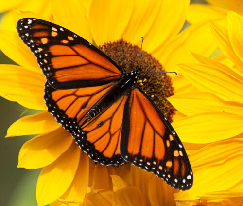Monarch Butterfly On Sunflower 6.5 7.5 7.5 21.5 Terry Ross-Poulton  Nature Gold