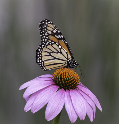 Monarch Butterfly On Coneflower 8 8 7.5 23.5 HM GPP Judy Boufford  Nature Gold