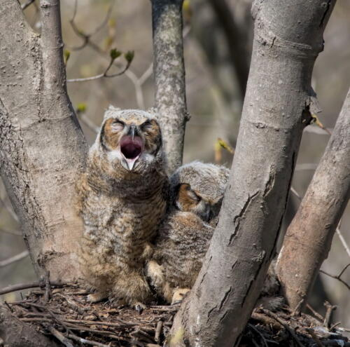 Nesting Great-Horned Owlets 6.5 7.5 8.5 22.5 Pat Wintemute  Nature Gold