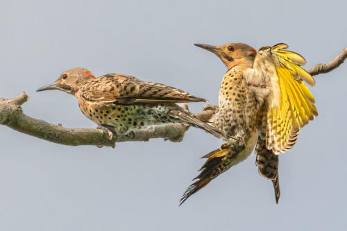 Northern Flickers 6.5 6.5 8 21 Geoff Dunn  Nature Gold