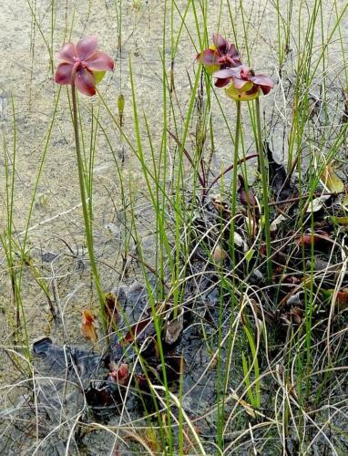 Pitcher Plant In Habitat 6 7 7.5 20.5 Roy Oldfield  Nature Gold