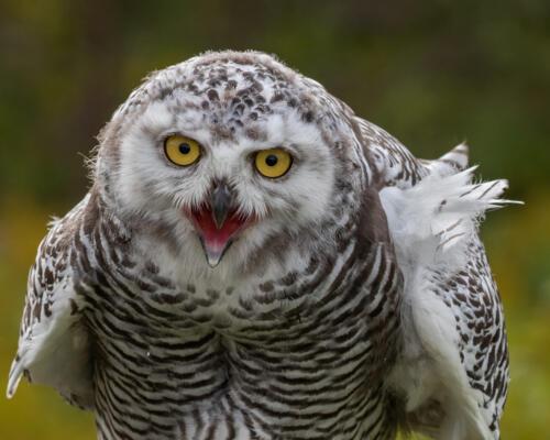 Snowy Owl Closeup 7 7 7.5 21.5 Geoff Dunn  Nature Gold