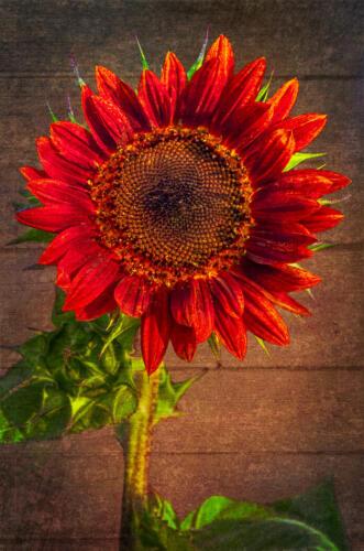 Sunflower 7 7.5 6.5 21 Don Poulton  Creative Master