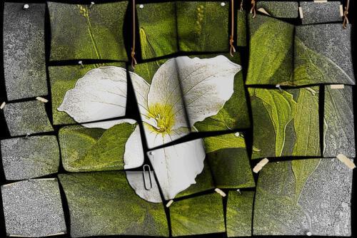 Trillium Puzzle 7 8.5 8 23.5 Leonie Holmes FCAPA  Creative Master