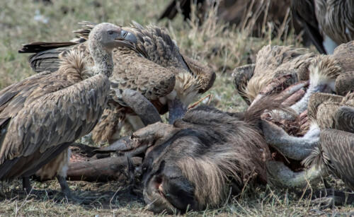 Vultures On Wildebeest Carcass 6 7.5 7.5 21 Jim Maguire  Nature Gold