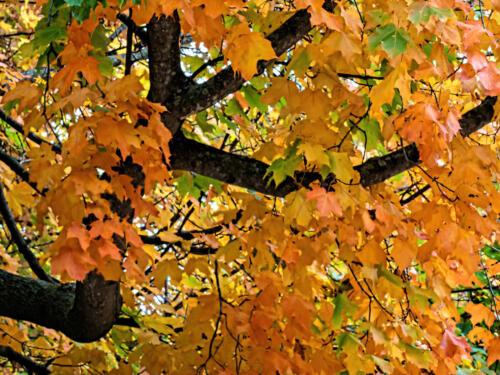 Autumn Colors 5.5 6.5 6.5 18.5 Robert Melnyk  Pictorial Gold