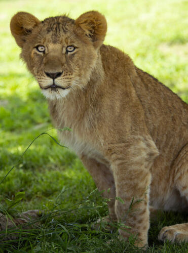 Young Lioness 6.5 7.5 7.5 21.5 Leonie Holmes FCAPA  Nature Master