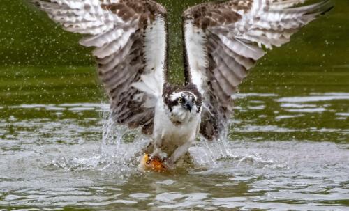 Osprey Vs Gold Fish 7 7.5 7.5 22 Greg Alderson  Nature Gold