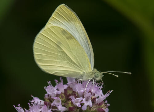 Cabbage White 7 7 7 21 Greg Alderson  Nature Gold