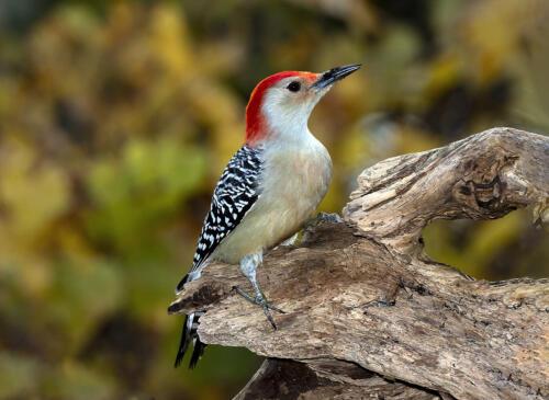 Red Bellied Woodpecker 7.5 7.5 8 23 GPP Greg Alderson  Nature Gold