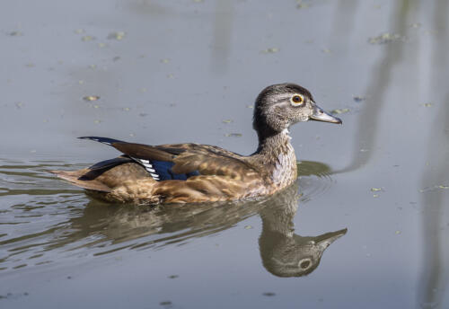 Female Wood Duck 7.5 7 8 22.5 HM SPP Carey Hope  Nature Silver