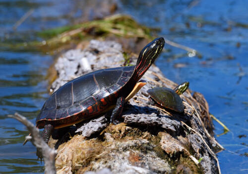 Painted Turtle Mom And Baby 6.5 6.5 7.5 20.5 Carey Hope  Nature Silver
