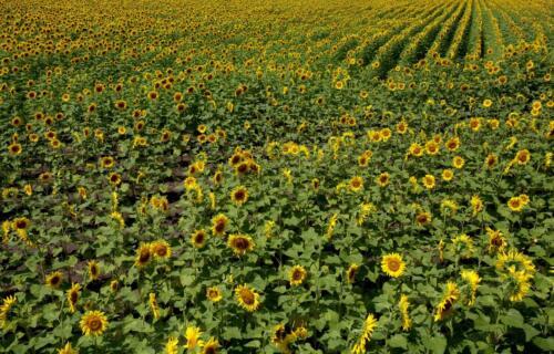 Sunflowers For Ever  7.5 6 7.5 21 Dan Copeland  Pictorial Master