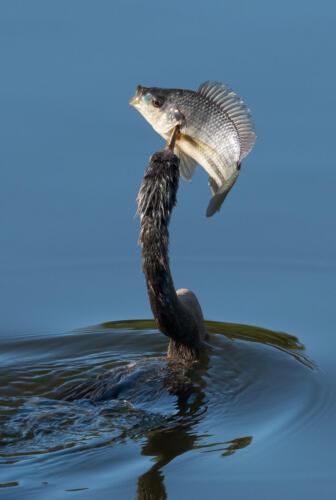 Anhinga With Fish 7.5 9 10 26.5 TC GPP Herb McClelland  Nature Gold