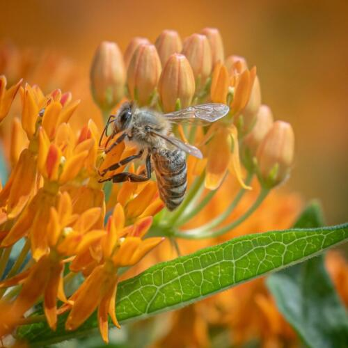 Honey Bee 7.5 8.5 8 24 TC SPP Mike Mulvale  Nature Silver