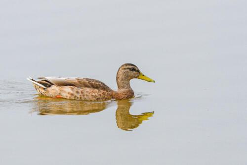 Mallard Duck 6.5 6.5 7.5 20.5 Victor Turczynski  Nature Gold
