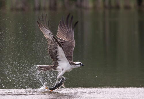 Osprey With Fish 8 8.5 9 25.5 TC GPP Pat Wintemute  Nature Gold