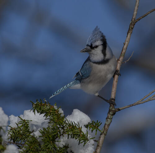 Blue Jay In Snow 7.5 8.5 9.5 25.5 TC GPP Greg Alderson  Nature Gold