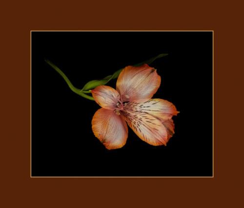 Alstromeria Or Peruvian Lily 8 8 9 25 HM DP Kathryn Martin  Pictorial Master