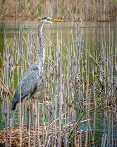 Great Blue Heron In Habitat 7 7.5 7.5 22 Kathryn Martin  Nature Master