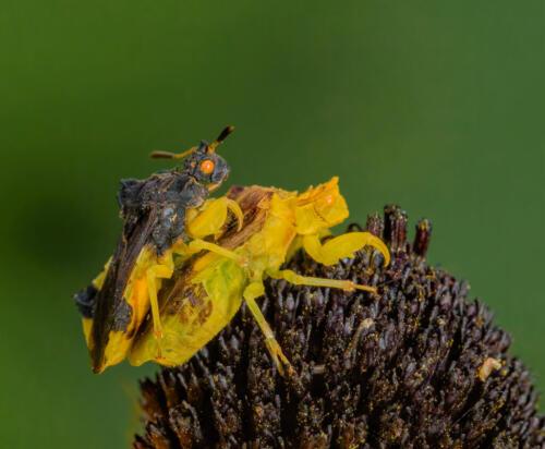 Ambush Bug Pair 7 9 6.5 22.5 Geoff Dunn  Nature Gold
