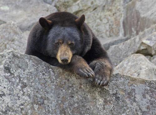 Black Bear 8 7.5 7.5 23 David Seldon  Nature Master