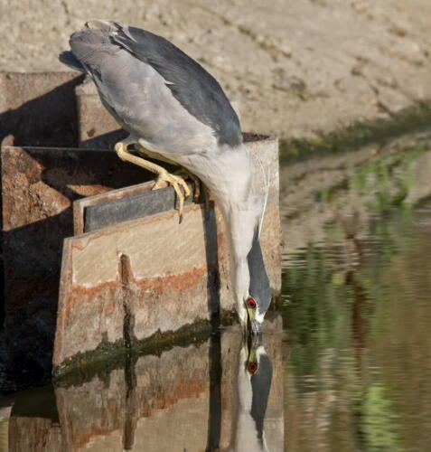 Black-Crowned Night Heron 7.5 7.5 7.5 22.5 Pat Wintemute  Pictorial Gold