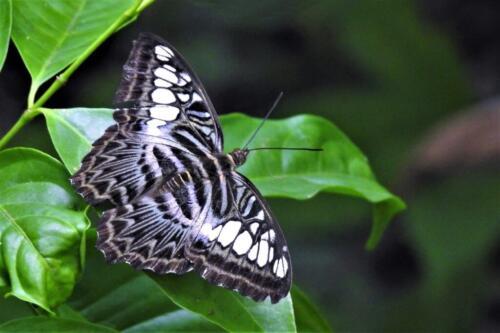 Borneo Clipper Butterfly 7 6 6.5 19.5 Barbara Boles-Davis  Nature Gold