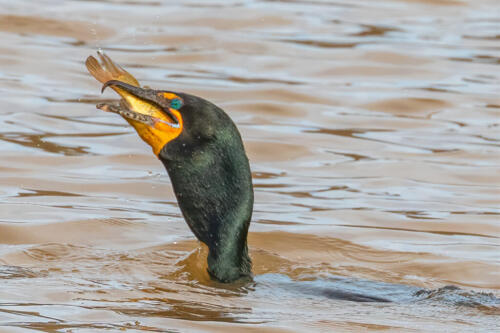 Cormorant With Fish 7 7 8 22 Geoff Dunn  Nature Gold